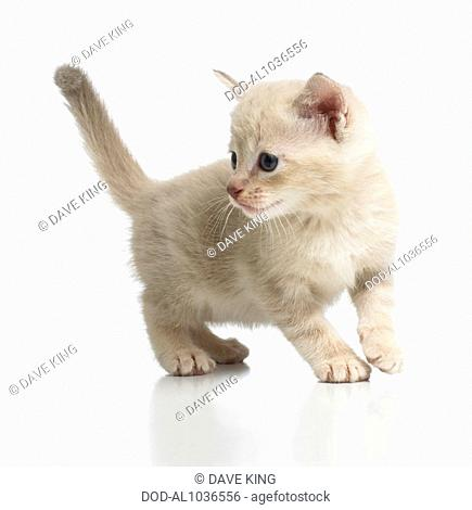 Burmese cross breed kitten
