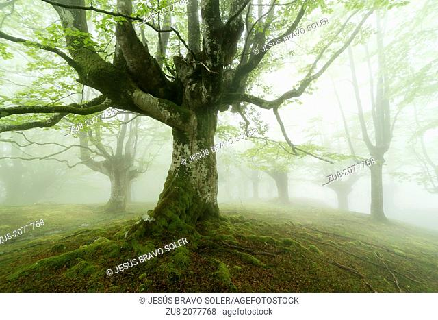 Beech forest in the Natural Park of Gorbea, Basque Country
