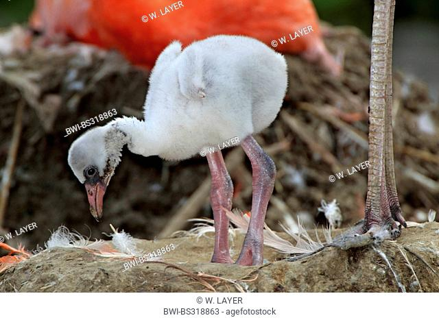 Greater flamingo, American flamingo, Caribbean Flamingo (Phoenicopterus ruber ruber), chick in its nest