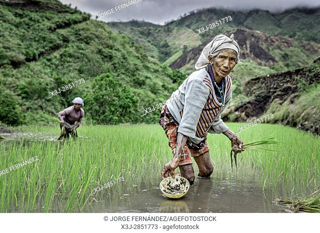 Old women planting rice with their hands in a flooded field in the mountains
