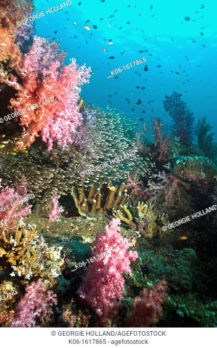 Coral reef scenery with Pygmy sweepers Parapriacanthus ransonetti and soft corals  Andaman Sea, Thailand