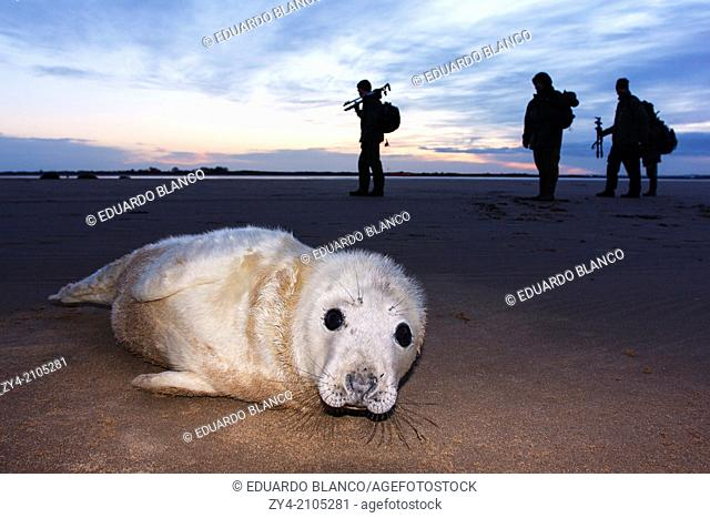 Photographer and Seal grey (Halichoerus grypus) Donna Nook National Nature Reserve, Lincolnshile, England, U.K., Europe
