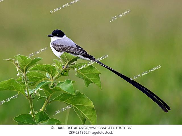 Fork-tailed Flycatcher (Tyrannus savana), Cali, Valle del Cauca
