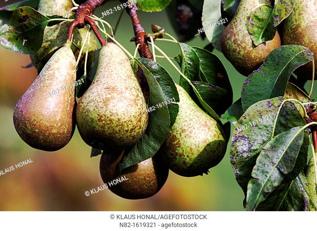 Pears growing on a branch in neighbour's garden - Bavaria/Germany
