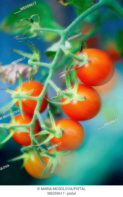 Garden Cherry Tomatoes. Solanum lycopersicon. August 2006, Maryland, USA