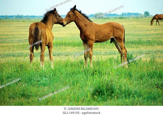 Hungarian Warmblood horses - standing on meadow