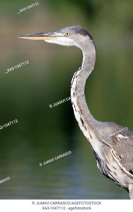 Grey heron side portrait , Ardea cinerea, Valencia, Spain