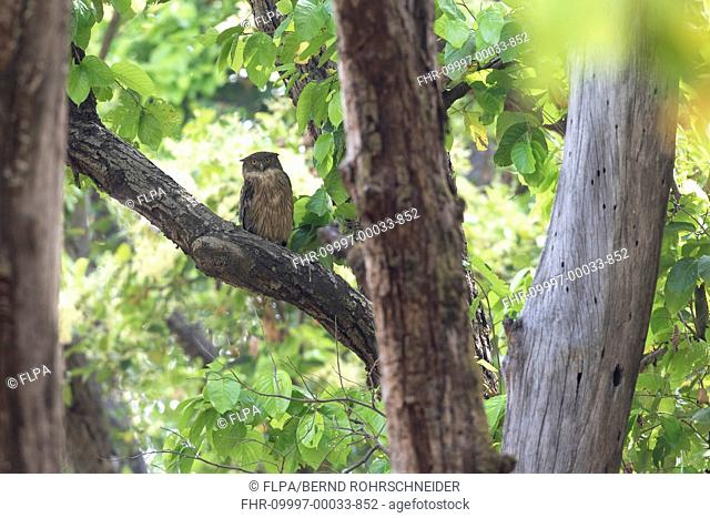 Brown Fish-owl (Ketupa zeylonensis leschenault) adult, perched on branch in forest during daytime, Kanha N.P., Madhya Pradesh, India, April