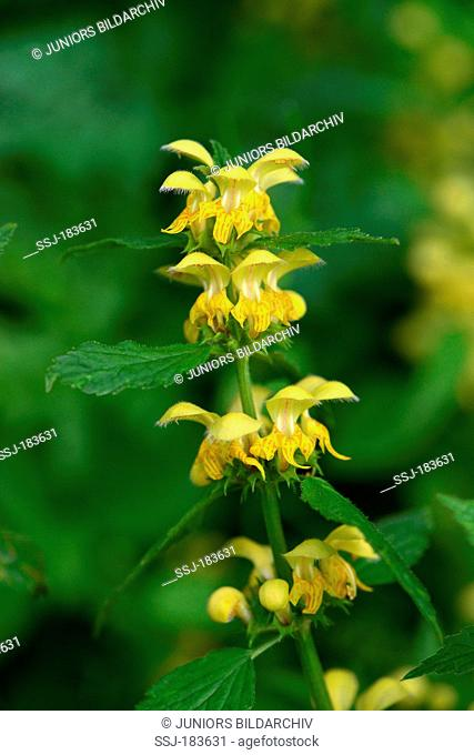 Yellow Archangel, Golden Deadnettle, Weasel's Snout (Lamium galeobdolon, Galeobdolon luteum), flowering. Austria