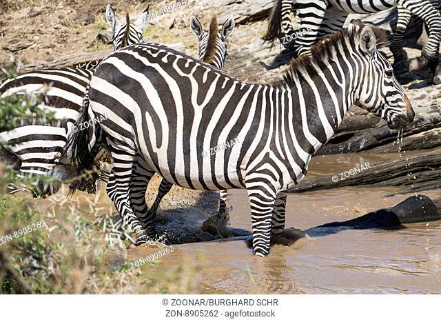 Equus quagga,Steppenzebrea,Plains zebra
