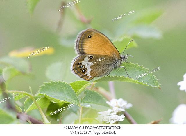 Pearly Heath, Coenonympha arcania. Butterfly flight is June-August. Habitat: light forests, nutient poor grasslands, damp clearings