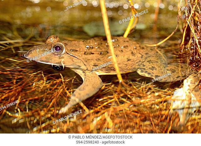 Chinese edible frog (Hoplobatrachus rugulosus) in a pond of Bangkok, Thailand