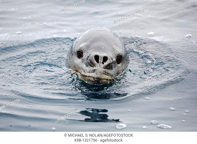 An adult Leopard Seal Hydrurga leptonyx surfacing in clear water near Petermann Island on the Southwest Antarctic Peninsula