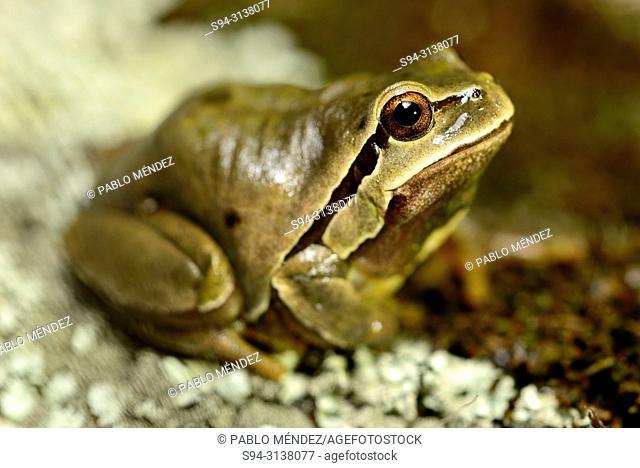 Iberian treefrog (Hyla molleri) in Valdemanco, Madrid, Spain