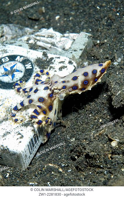 Midring Blue-ringed Octopus (Hapalochlaena sp.) by cigarette packet, Bronsel dive site, Lembeh Straits, Sulawesi, Indonesia