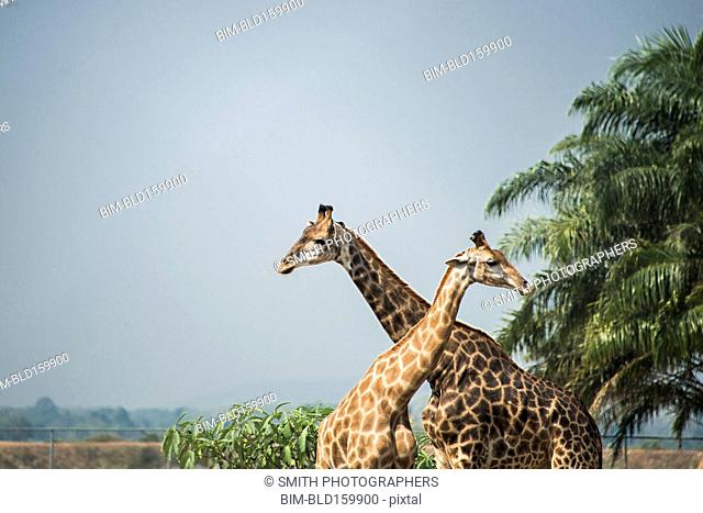 Giraffes standing near palm trees under blue sky