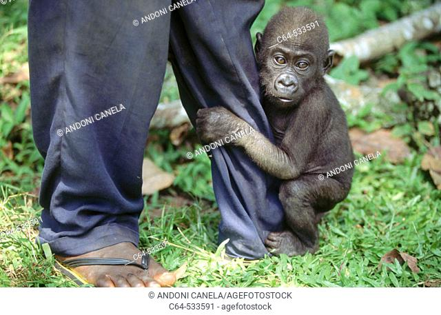 Gorilla. Cameroon