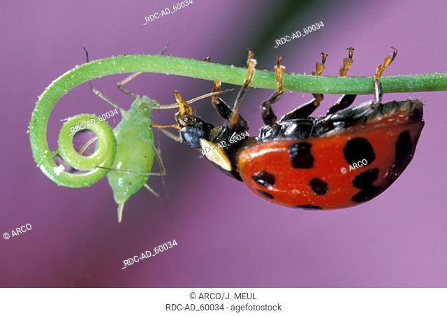 Multicolored Asian Lady Beetle Harmonia axyridis