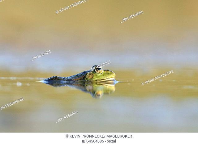 Green frog (Pelophylax esculentus) in water, Saxony, Germany