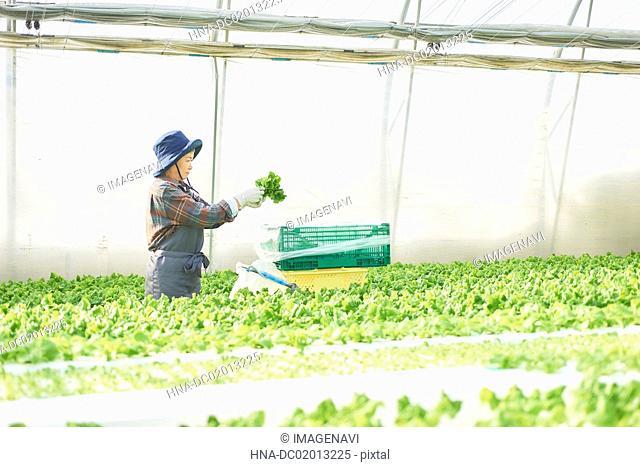 Senior woman picking stem lettuce