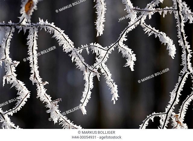 Wood, branch, white frost, frost, hoarfrost, hoarfrost, winter, winter wood, beech, Fagus sylvatica, beech sheet, foliage sheet, ice needle, freezes over