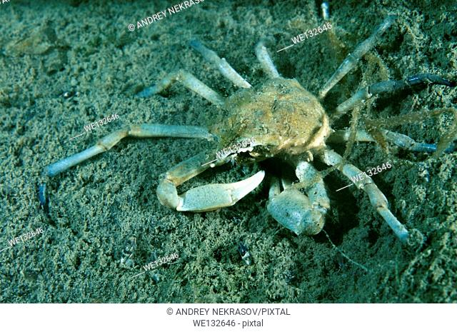 spider crab (Pugettia quadridens) Sea of Japan, Rudnaya Pristan, Far East, Primorsky Krai, Russia