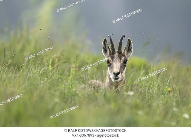 Chamois / Alpine chamois (Rupicapra rupicapra) resting over day in a fresh green mountain meadow for ruminating, wildlife, France, Europe