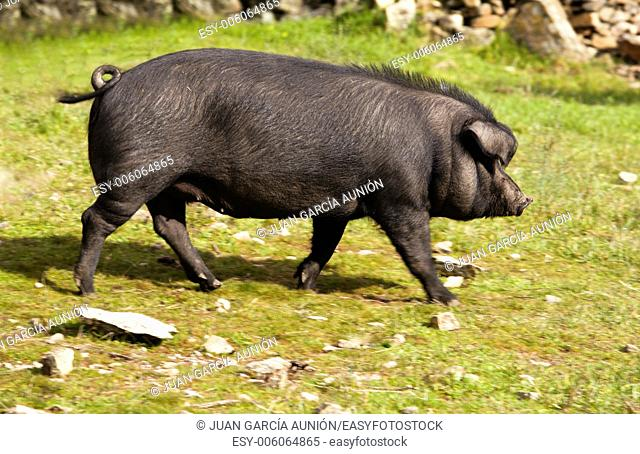 Black Iberian pigs on a meadow. Extremadura Spain