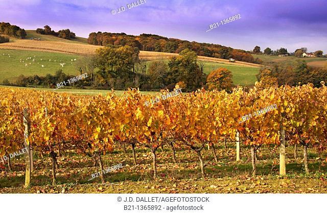 France-Midi Pyrenées-Gers- landscape of wine fields, corn fields and cattles, near Manciet