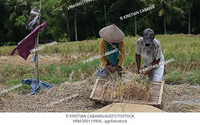 Rice paddy, Bali, Indonesia, Southeast Asia