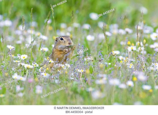European ground squirrel or souslik (Spermophilus citellus) eating daisies, National Park Lake Neusiedl, Burgenland, Austria