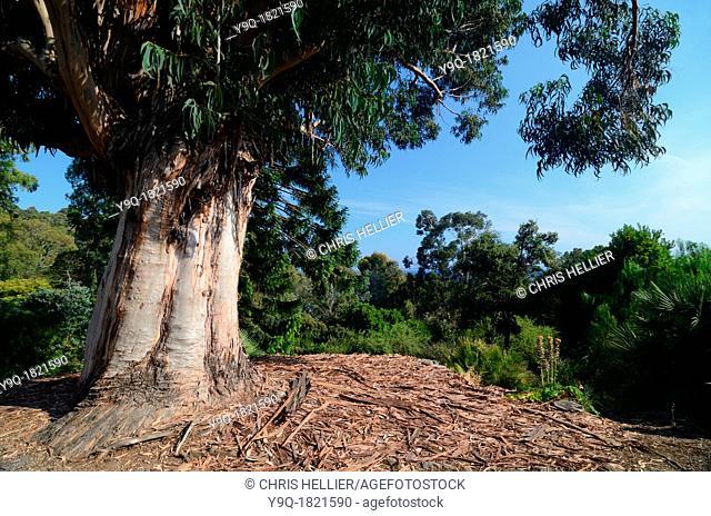 Eucalyptus robusta Tree Trunk and Bark Domaine du Rayol Rayol-Canadel-sur-Mer Var Provence France