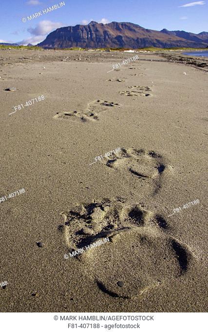 Grizzly Bear (Ursus horribilis) footprints in sand. Katmai National Park, Alaska, USA
