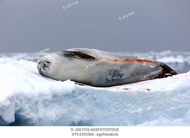 crabeater seal lying on iceberg looking to camera Fournier Bay Antarctica