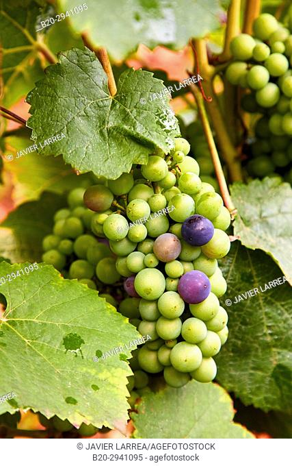 Pinot noir vineyards, Gevrey-Chambertin, Côte de Nuits, Côte d'Or, Burgundy Region, Bourgogne, France, Europe