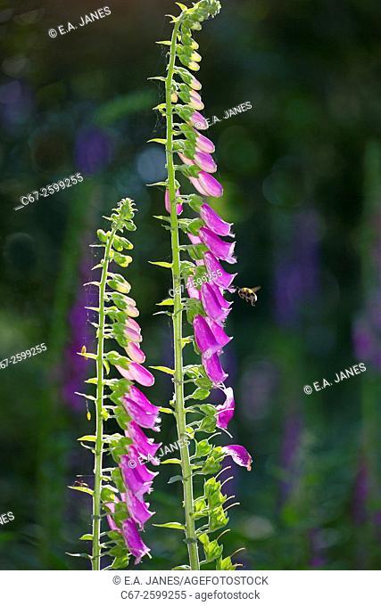 Foxglove Digitalis purpurea and Bumble bee