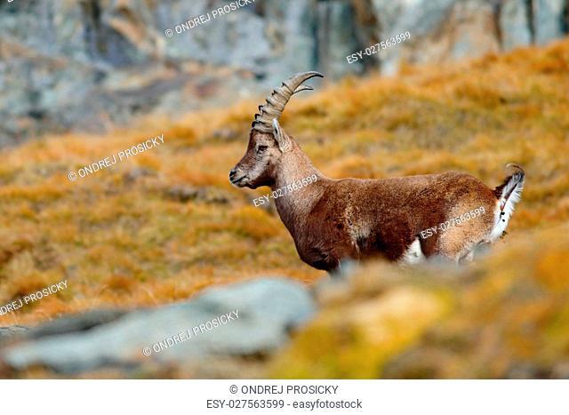 Antler Alpine Ibex, Capra ibex