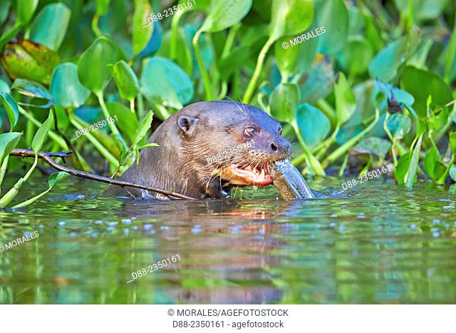 South America, Brazil, Mato Grosso, Pantanal area, Giant Otter Pteronura brasiliensis, eating a fish