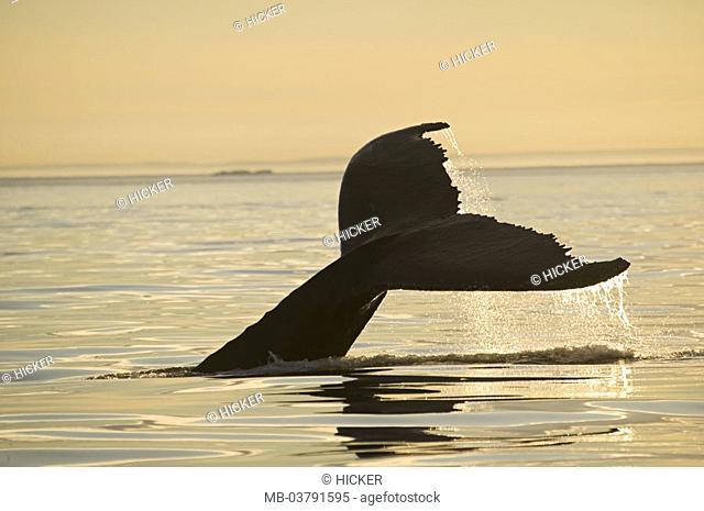 Sea, back whale, Megaptera novaeangliae,  dives, detail, tail fluke,  Dusk Series, North America, Canada, Newfoundland, Viking Trail