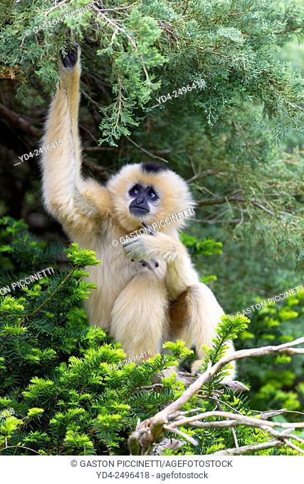 Buff-Cheeked Gibbon (Hylobates gabriellae), Cincinnati Zoo, Ohio, USA