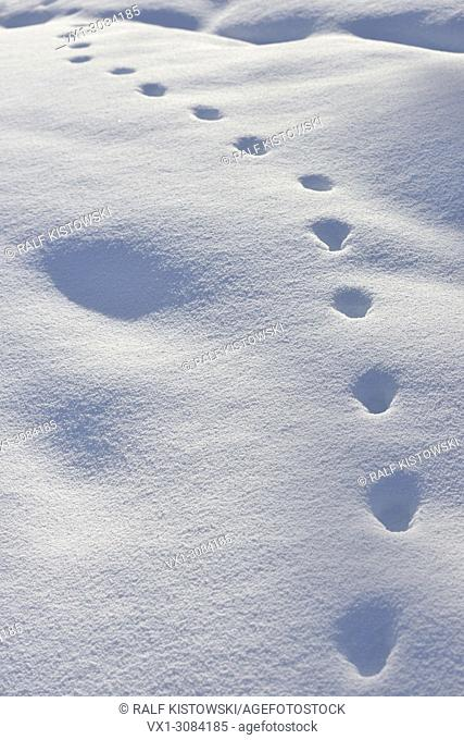 Animal track of a Red Fox ( Vulpes vulpes ) in winter, walking through deep snow, Yellowstone NP, Wyoming, USA