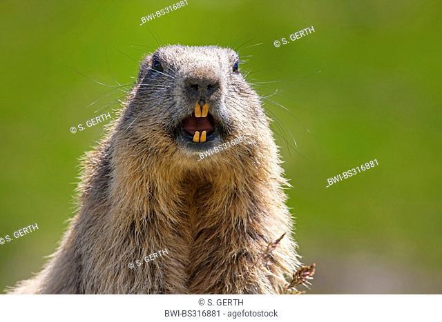 alpine marmot (Marmota marmota), warning, Austria, Hohe Tauern National Park, Grossglockner