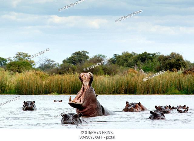 Belligerent hippo in river