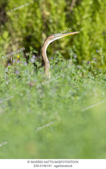 Purple Heron (Ardea purpurea), juvenile standing in an Alfalfa field