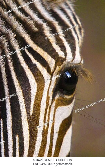 Close-up of eye of Burchell's zebra Equus quagga quagga