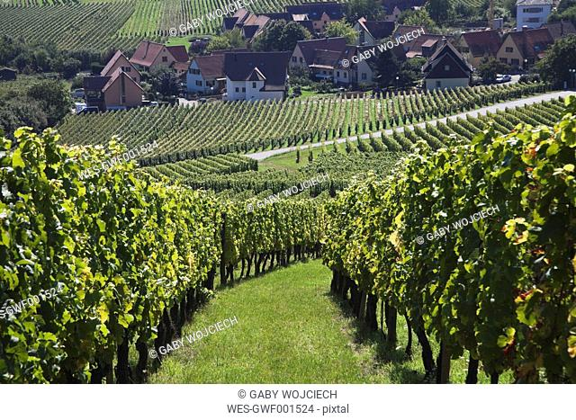 France, Alsace, Haut-Rhin, Alsatian Wine Route, Riquewihr, View of vineyard in late summer