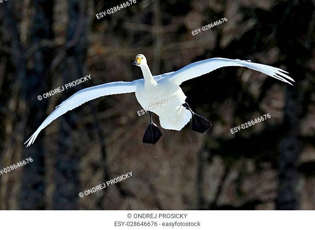 Flying white bird, Whooper Swan, Cygnus cygnus, with dark forest