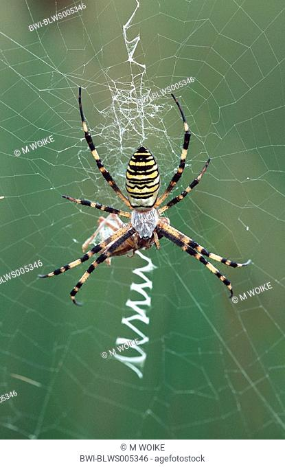 black-and-yellow argiope, black-and-yellow garden spider Argiope bruennichi, female, with prey, Hungary