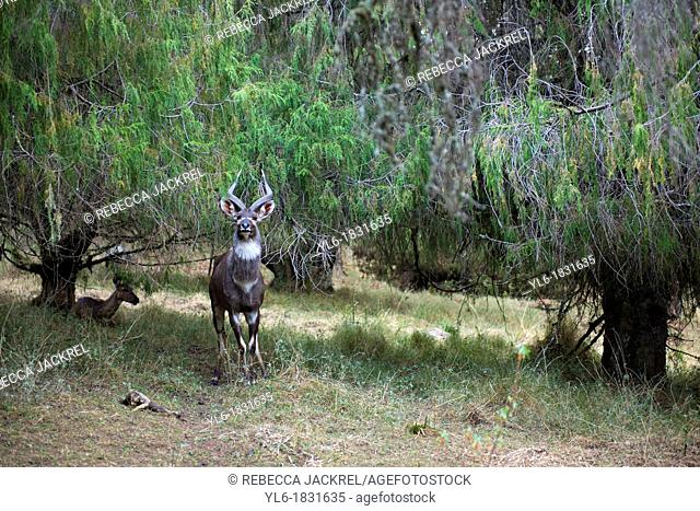 A male Mountain nyala stands guard while a female rests among the trees