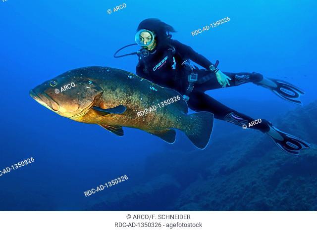 dusky grouper, morou, mero, cernia diver, Lavezzi islands, Corsica, Corse, France, Europe, Mediterranean, Epinephelus marginatus